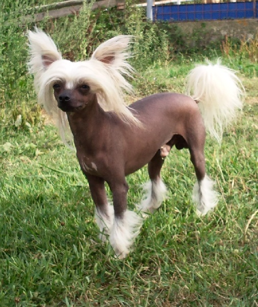 chiens-Chien-chinois-a-crete-29f4a781-665b-5b54-71fd-0c2418a67ad5