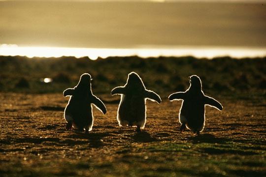 penguins-dancing-sunset
