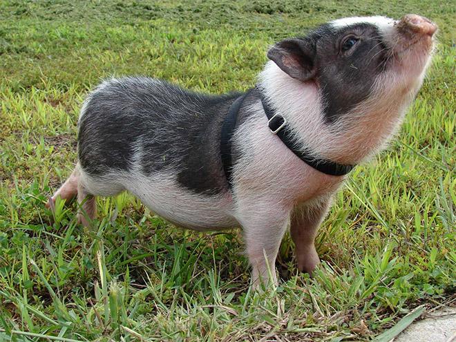 cochonmicro-pig5