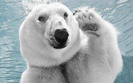 coucouPolar-bear_1533674c
