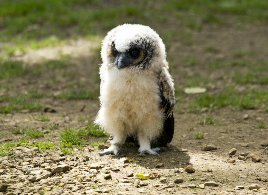 mardifluffy_owl