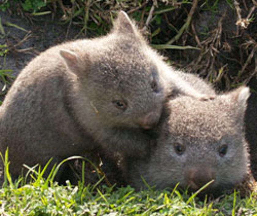 bisou wombat