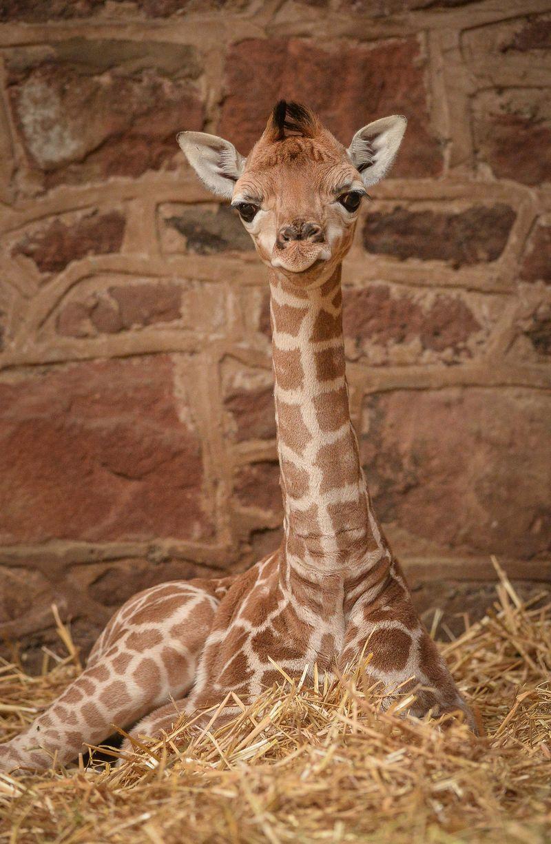 girafb6c70970c-800wi