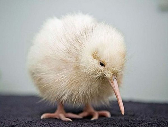fluffy-white-kiwi-baby-cute