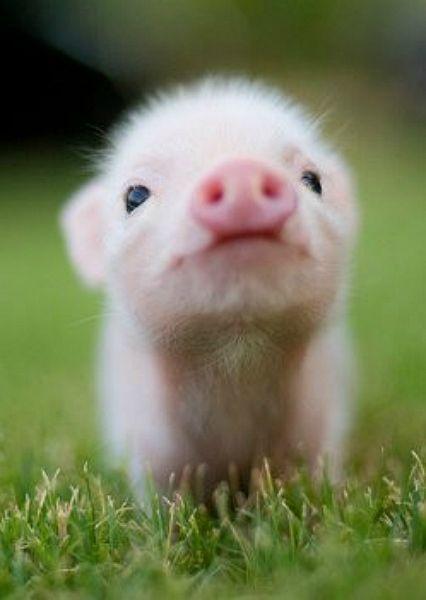 1.cochon