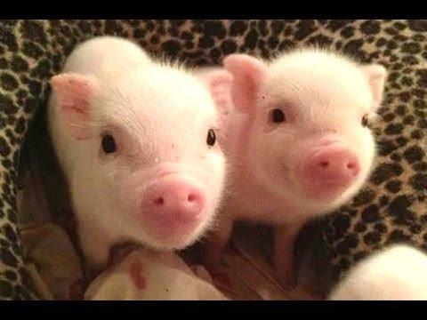 2.cochons