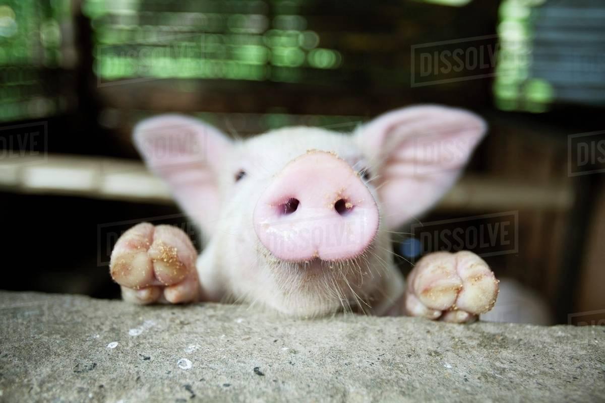 5.cochon curieux